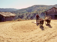 Harmanda bir çiftçi, bir çift öküze bağlayıp çektiği döven ile ekini saplarından ayırıyor