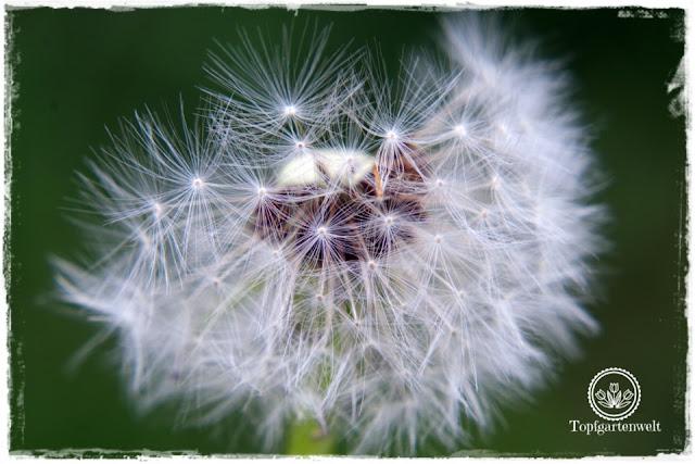 Gartenblog Topfgartenwelt Buchtipp Makrofotografie - die große Fotoschule: Tipps - Samenstände Löwenzahn