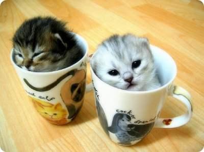 teacup cats, kucing kecil, 7 tip pelihara teacup cats
