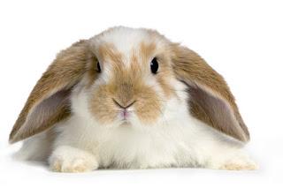sifat kelinci suka mengetat