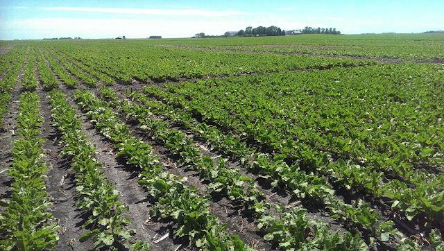 spring urea nitrogen fertilizer sugar beet stand loss establishment Minnesota