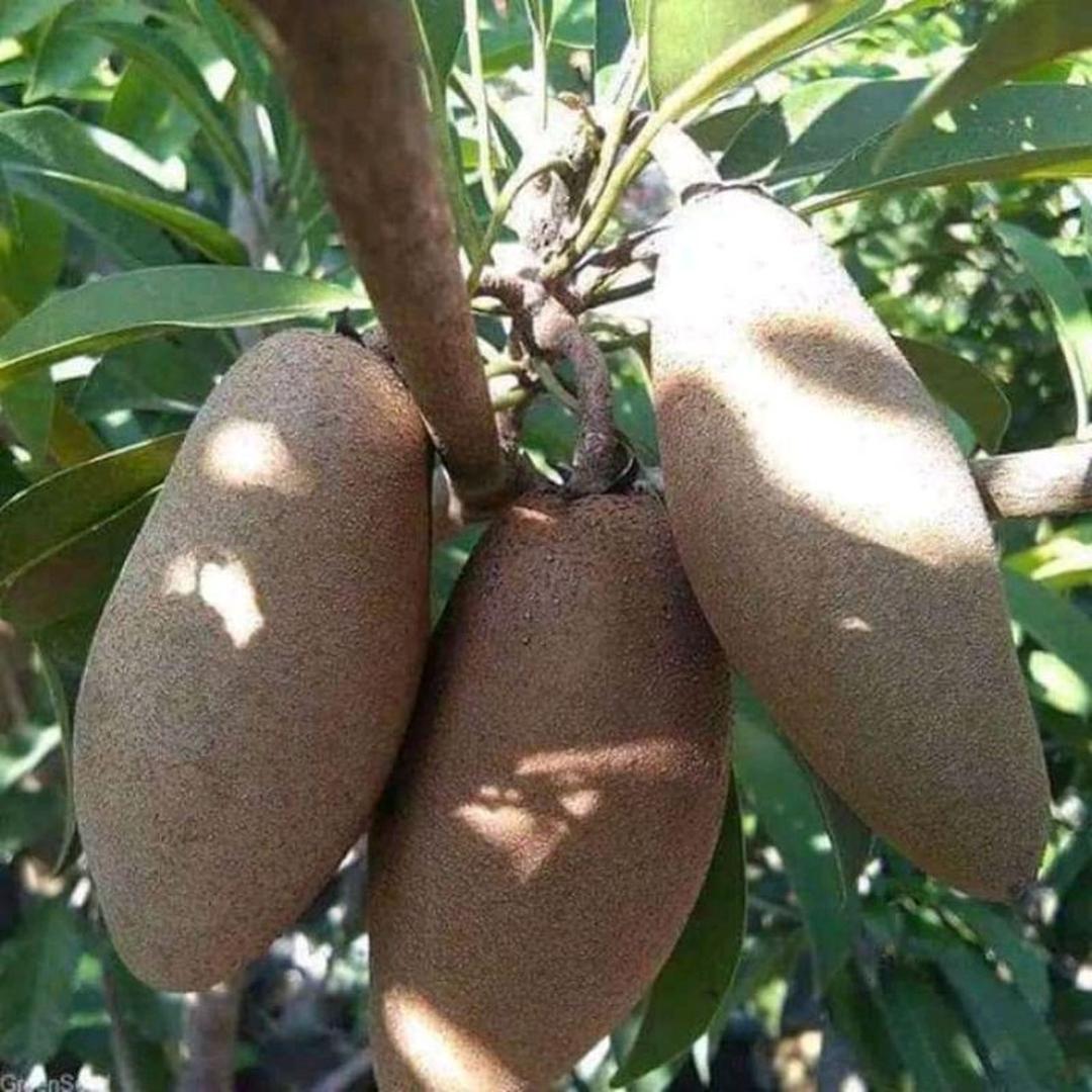 Bisa Borong! bibit sawo mentimun okulasi Kota Malang #bibit buah langka