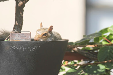 "This is a photograph features another a squirrel sitting in the container that is housing a shrub in my rooftop garden. My garden is the setting for my three volume book series, ""Words In Our Beak.""  (Info re the books is within a post on my blog @ https://www.thelastleafgardener.com/2018/10/one-sheet-book-series-info.html). Squirrels are not featured in  these books, but I have published info re them within other entries on this blog (@ https://www.thelastleafgardener.com/search?q=Squirrels)."