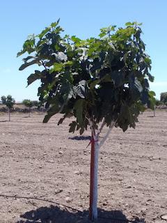 Tutores sintéticos reutilizados en plantación de higueras
