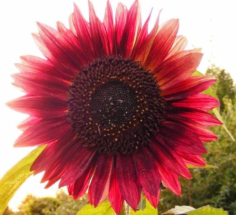 Red Sun Sunflower