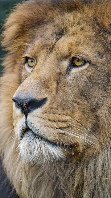 Papel de Parede África Rei Leão