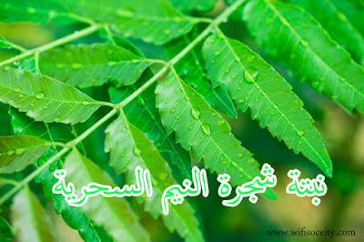 نبتة شجرة النيم للتخلص من الذباب