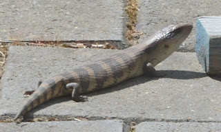 A blue-tonged lizard sunning itself on grey concrete pavers. A wooden toy block is next to it on the right.