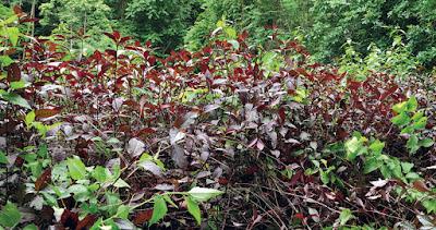 ข้อมูล ต้นบานไม่รู้โรยบราซิล (บานไม่รู้โรยฝรั่ง) ลักษณะ