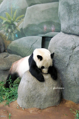 The Memphis Zoo - Panda Photo by Cynnthia Sylvestermouse