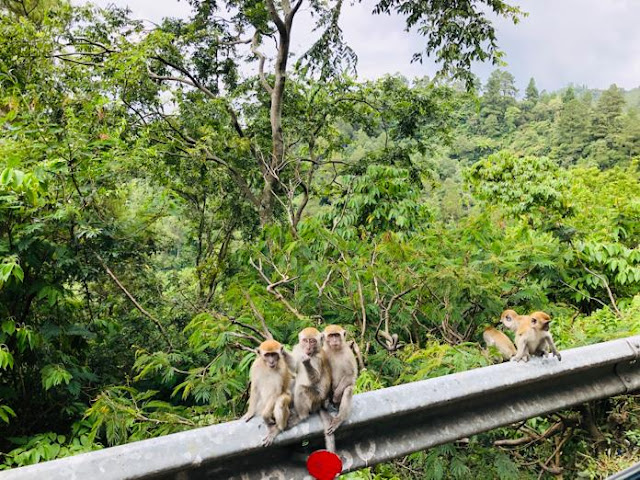 wisata-indah-prapat-danau-toba-monyet
