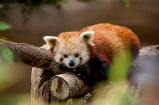 Cub of Red panda