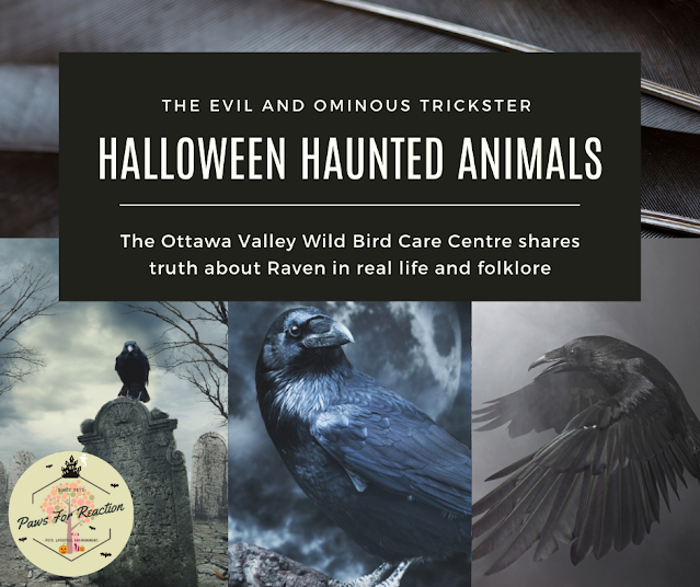 Halloween's haunted animals: The truth about the ominous and dark trickster; the Raven