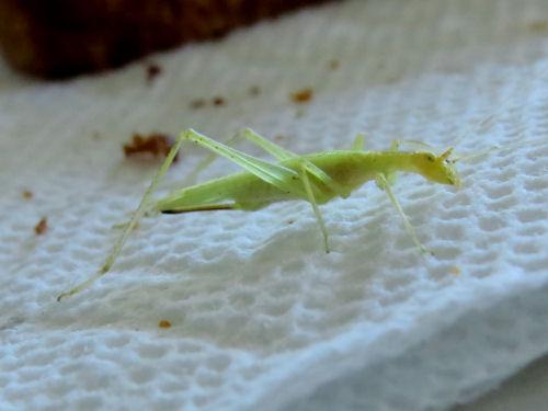 katydid instar
