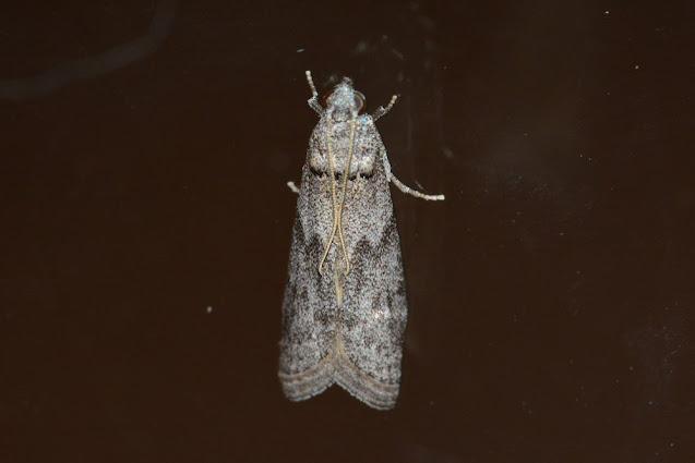 Ectomyelois ceratoniae
