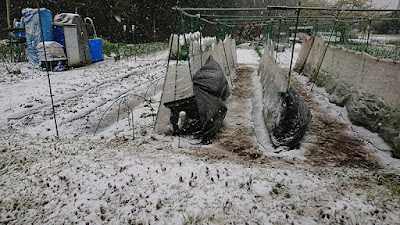 防虫ネットと黒マルチを利用して積雪対策