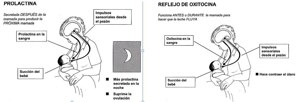 valores de prolactina de erección de deficiencia