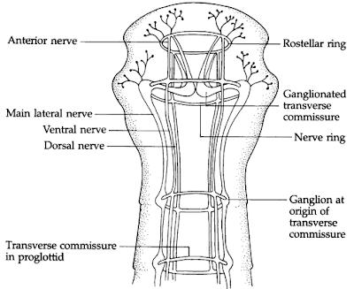 Morfologi cestoda / cacing pita, bentuk tubuh cestoda / cacing pita, Scolex, Acetabulate scolex, Bothriate scolex adalah, Leher cacing pita, Strobila cacing pita, mmature proglotid (proglotid belum matang) adalah, Mature proglotid (proglotid matang) adalah, Gravid proglotid adalah, Sistem Osmoregulasi dan ekskresi pada cestoda / cacing pita, sel api pada cacing pita, Sistem Syaraf Cestoda / Cacing Pita, Sistem reproduksi cestoda / cacing pita, Sistem reproduksi jantan pada cacing pita, Sistem Reproduksi betina pada cestoda / cacing pita, Telur cestoda / cacing pita, Siklus hidup Cestoda / Cacing Pita,Siklus hidup cestoda / cacing pita ordo Pseudophyllidea, Siklus hidup cestoda / cacing pita ordo Cyclophyllidea, Fisiologi Cestoda / cacing pita, Khemoterapi / Pengobatan