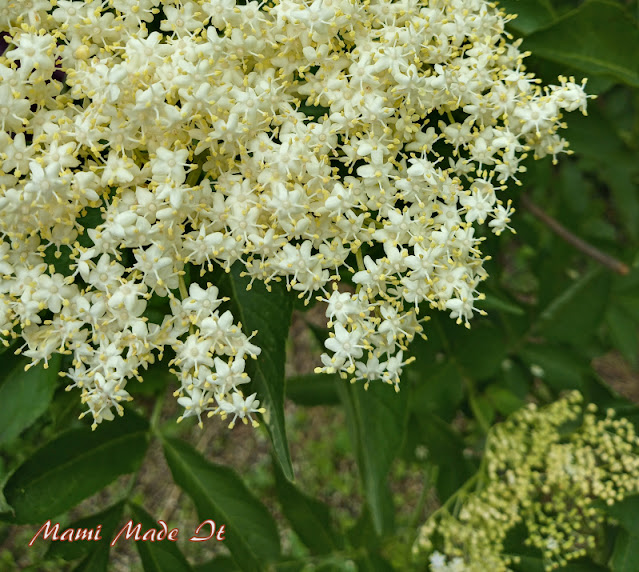 Holunderblüten - Elderflower