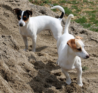 Puppies playing in the sand