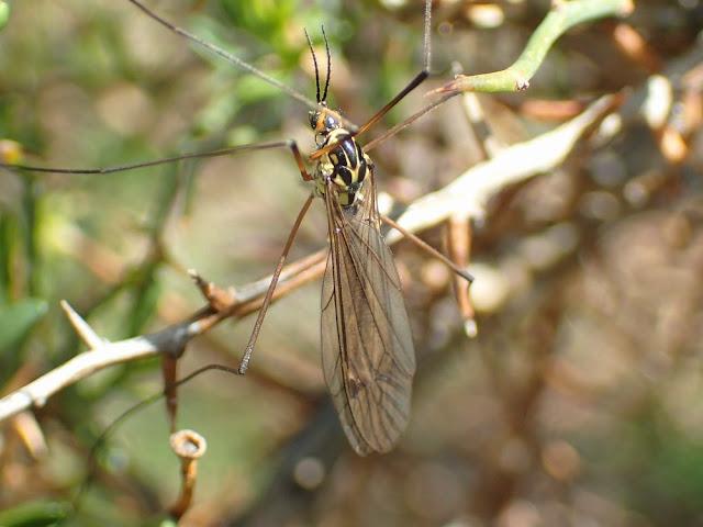 Nephrotoma flavescens