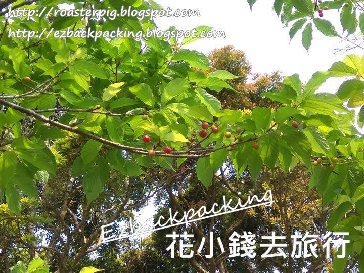 香港櫻花果