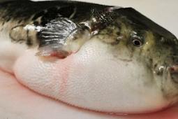 5 Fakta Unik Ikan Buntal