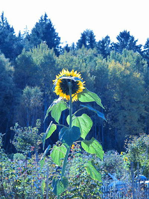sunflower in autumn photo by sue wellington