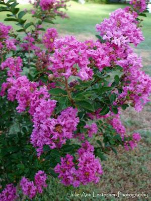 Miss Sandra Crape Myrtle - Fuchsia Blossoms