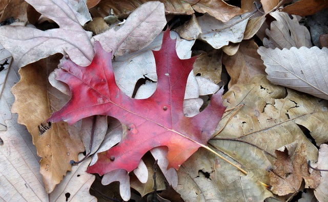 Hoja de ROBLE ESCARLATA Quercus coccinea