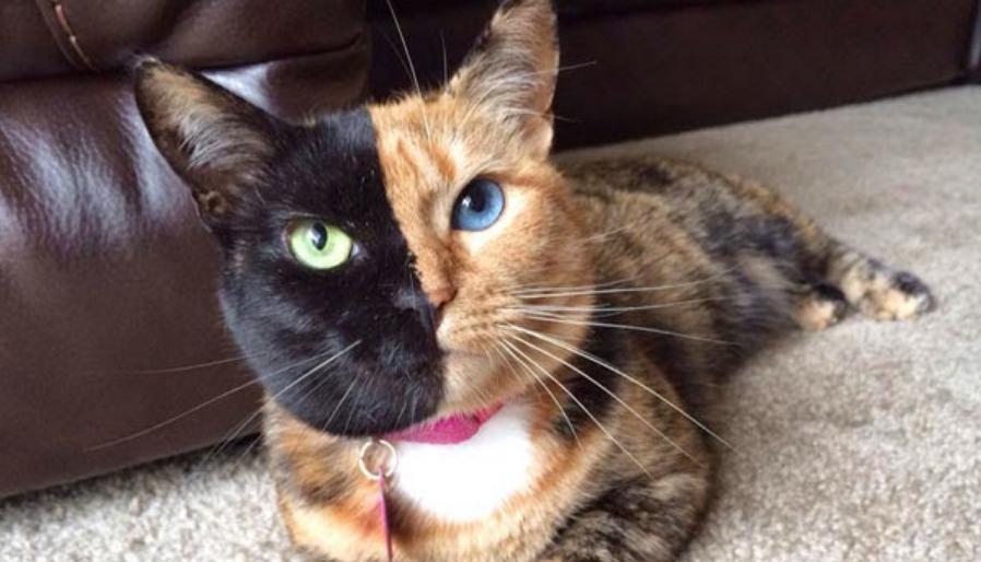 Kucing Aneh Muka Dua
