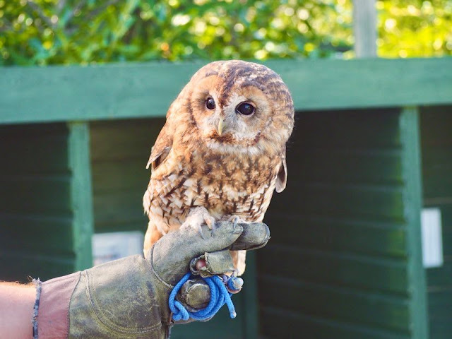 An owl at Screech Owl Sanctuary in Indian Queens, Cornwall