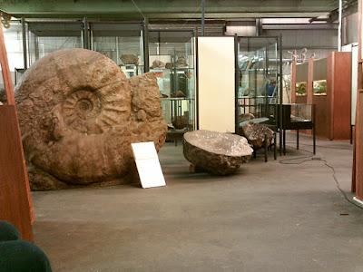 Fósil Parapuzosia seppenradensis