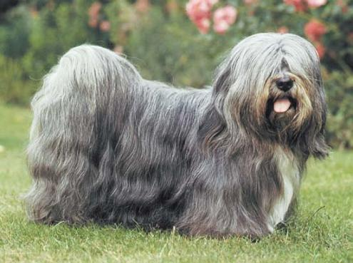 About Dog Lhasa Apso Training Your To Listen You