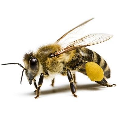 ухапване от пчела