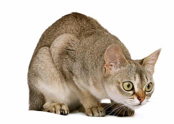 Singapura cat. Photo in the public domain.