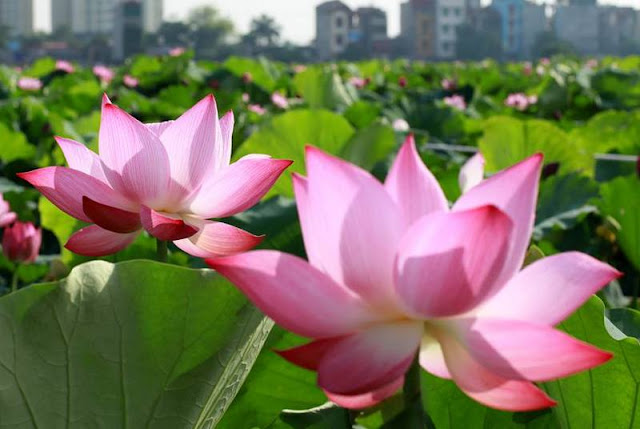 This year the  West Lake lotus-udic-du-an