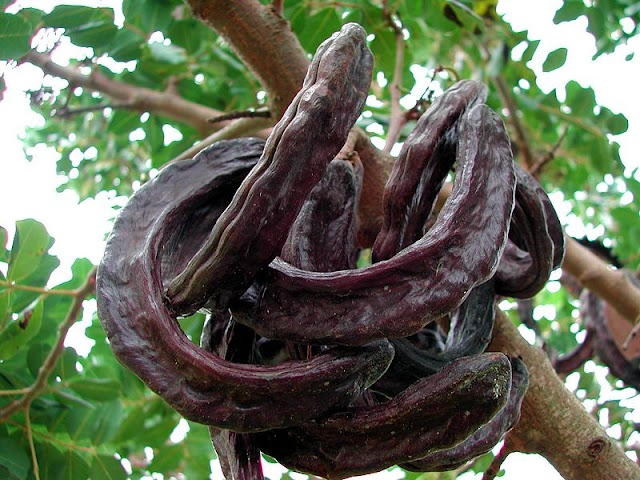 Πώς  καλλιεργώ Χαρουπιά (Ceratonia siliqua)
