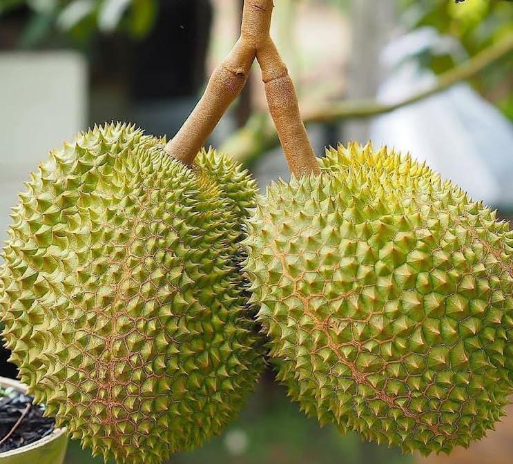 Bibit Durian Musangking kaki 3 Kediri