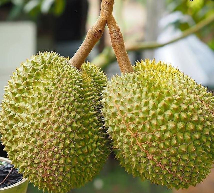 Bibit Durian Musangking kaki 3 Surakarta