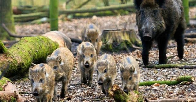 Babi Hutan Indonesia Invasi Malaysia, Berenang lewati Selat Malaka