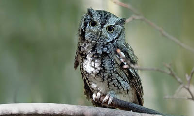 Photo of Eastern Screech-Owl on branch