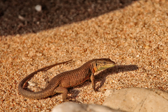 Lizard on the beach. Corfu. Greece. Ящерица на пляже. Корфу. Греция.