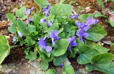 Sépalos puntiagudos y espolón acanalado y romo de Viola riviniana