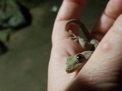 japanese gecko ヤモリ