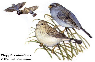 la familia Thraupidae en Argentina Yal platero Phrygilus alaudinus