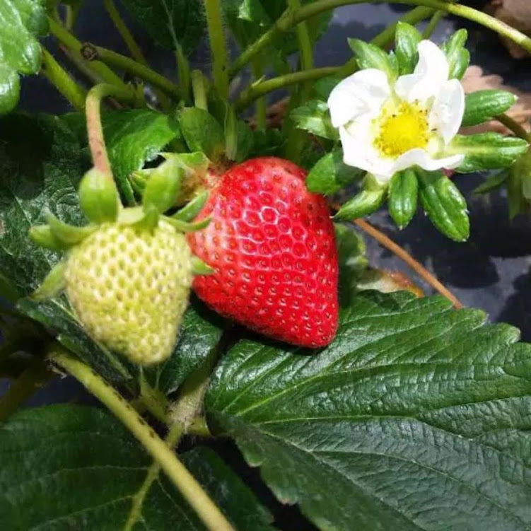 Bibit Tanaman Buah Strawberry California Stroberi Jumbo Berbuah Sulawesi Utara