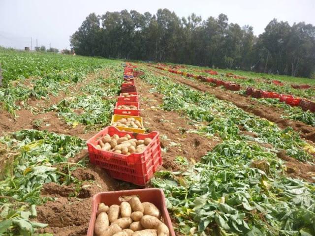 35- 45 λεπτά το κιλό η ανοιξιάτικη πατάτα στη Μεσσηνία