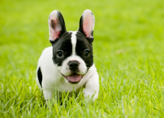 French Bulldog baby price in Jharkhand, French Bulldog puppy sale Jharkhand, French Bulldog puppy purchase Jharkhand, French Bulldog dog Jharkhand