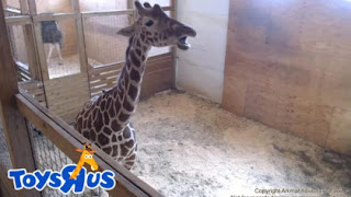 April the Giraffe a Big Advertising Coup for Toys R Us